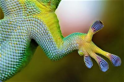 gecko trepador
