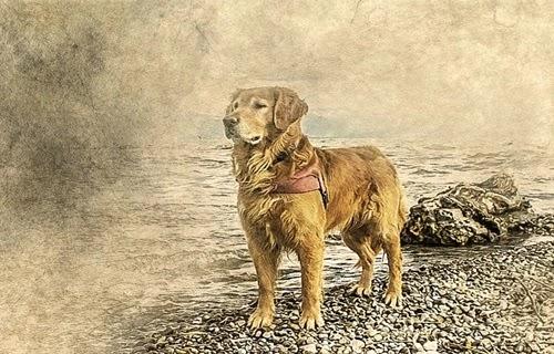 اسعار  كلاب الجولدن