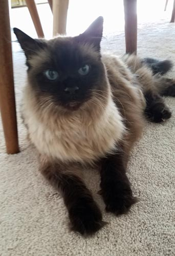 image of Matilda the Fuzzy Sealpoint Cat lying under a dining room chair, looking sweet