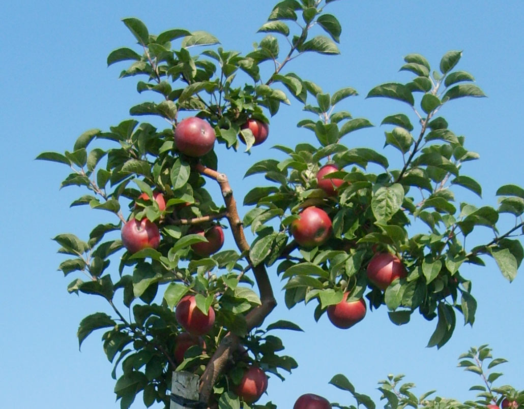 The Honeycrisp Le Is A Fall Favorite In Northern Illinois
