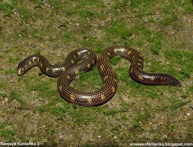 කලු වකුටුල්ලා - ලංකාවට ආවේණික තවත් සර්පයෙක් (Gray's Earth Snake) - Your Choice Way
