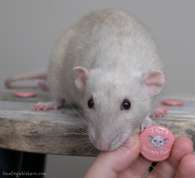 Oliver and the I Pet a Therapy Rat Button