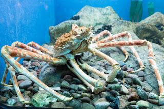 Macrocheira kaempferi is japanese spider crab
