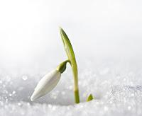 Karı delip çıkmış tek kardelen çiçeği tomurcuğu