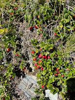 [Ericaceae] Arctostaphylos uva-ursi - Kinnikinnick (Uva ursina)