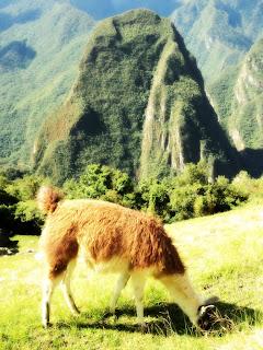 Lhama em Frente ao Putucusi, Machu Picchu