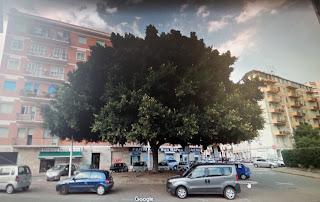 Il crollo del grande Ficus retusa