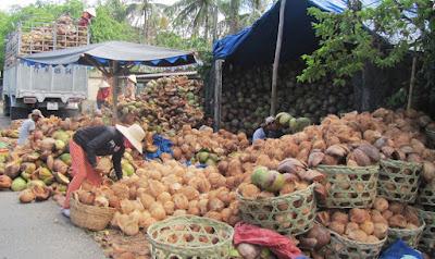 Chọn trái dừa khô để làm rượu dừa