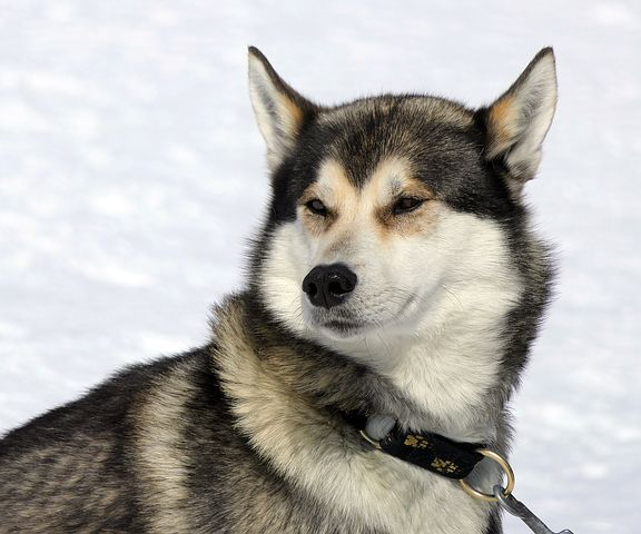 What diseases are Huskies exposed to? Genetic and acquired treatment