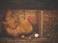 Ukuran kandang ayam petelur