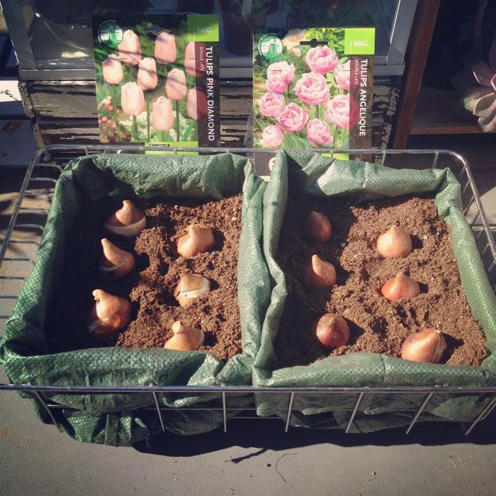 土のう袋と水切りカゴで作ったプランターにチューリップの球根を植える
