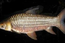 Umpan Pas Mancing Ikan Jelawat Yang Ampuh Serta Tepat
