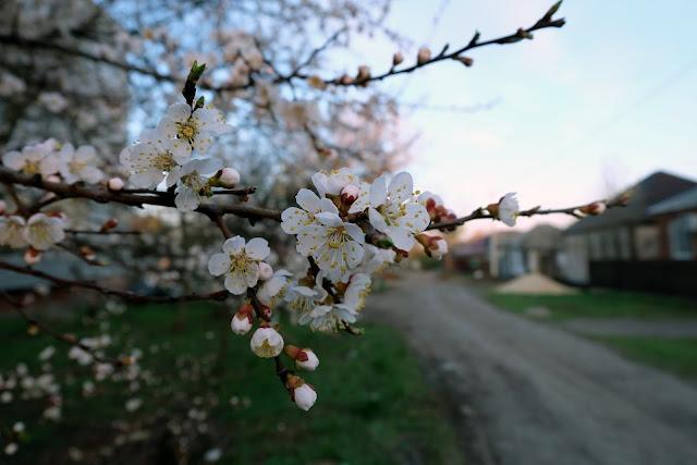 Cherry blosom flower