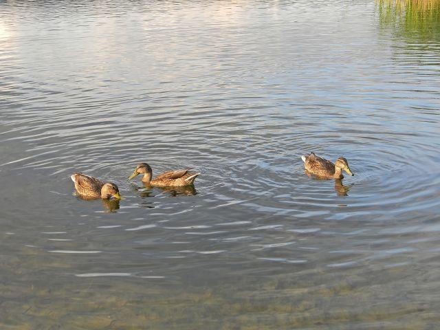 ptaki, kaczki, krzyżówki, jezioro, woda