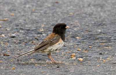 Photo of Dark-eyed Junco on ground