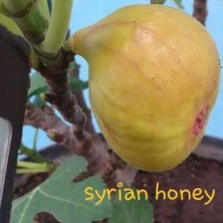 bibit-tin-syrian-honey-unggul.jpg