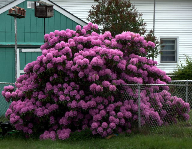 Rhododendron Engulfing a Chain Link Fence