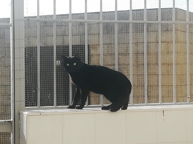 adoptar gato negro malaga