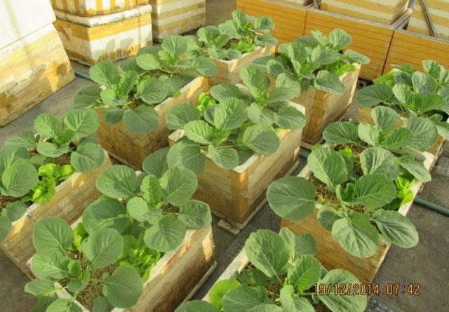 Cách trồng bắp cải xanh