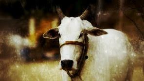 Hindus' perception of beef