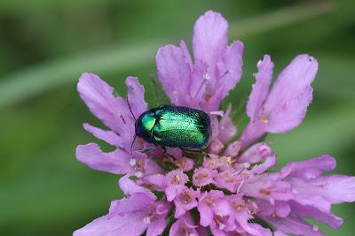A Green Dock Beetle on Knautia.