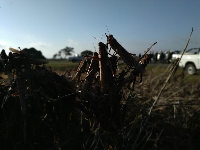 Nuvem de gafanhotos segue na Argentina, mas governo local 'perde' a localização dos insetos