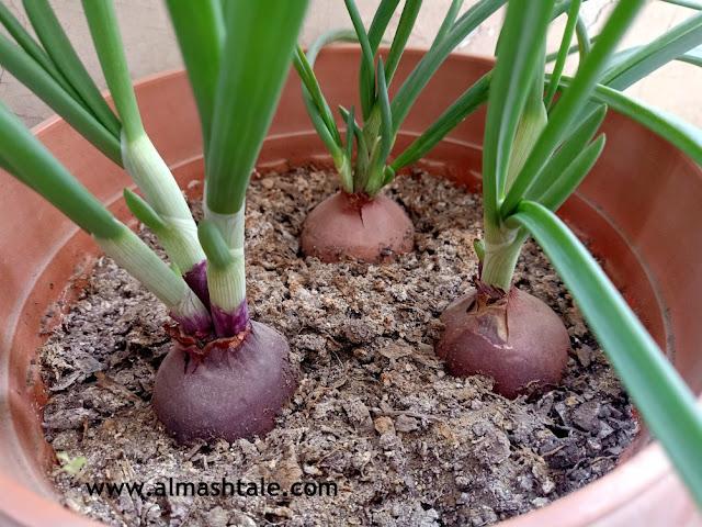 البصل الأخضر 3 green onion