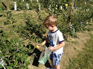 a blonde boy about 4 years old is seen from the side as he picks a yellow apple from a short tree and grins