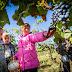 Idén is ovisok szüretelnek az egri egyetem szőlőbirtokán