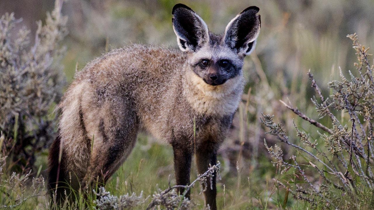 Bat eared fox - photo#15