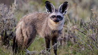 Bat eared fox pictures