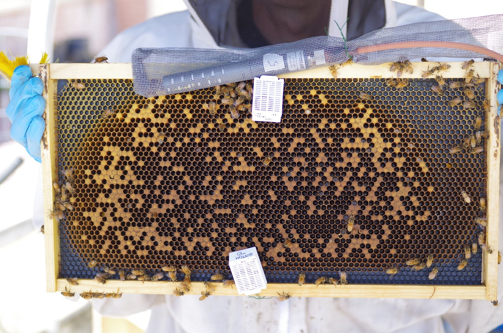 Are Miticides Harming Or Helping Our Bees Wiring Board Bee Frames The Brood Cells Of Comb Covered With Brown Caps In Order To Assess Area I Need Trace Every Cell Using A Computer Program Called