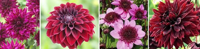 Dekor&Mentha Bíbor Dália Kollekció virággumó
