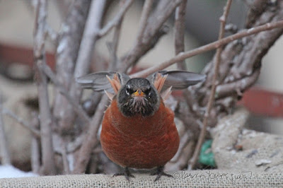 """This picture was taken in a NYC rooftop garden during winter so the containers have been wrapped in burlap for protection from cold temperatures. The focus of the image is a young robin who is standing on the burlap and appears to be looking straight into the camera. The garden is the setting for my three volume book series, """"Words In Our Beak.""""  Robins are featured in the third volume. Info re these books is within another post within this blog @ https://www.thelastleafgardener.com/2018/10/one-sheet-book-series-info.html"""