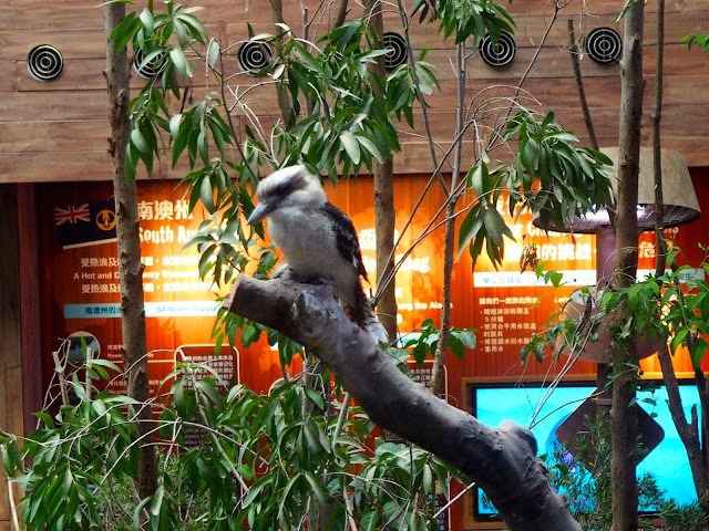 Kookaburra in the Australia exhibit in Ocean Park, Hong Kong