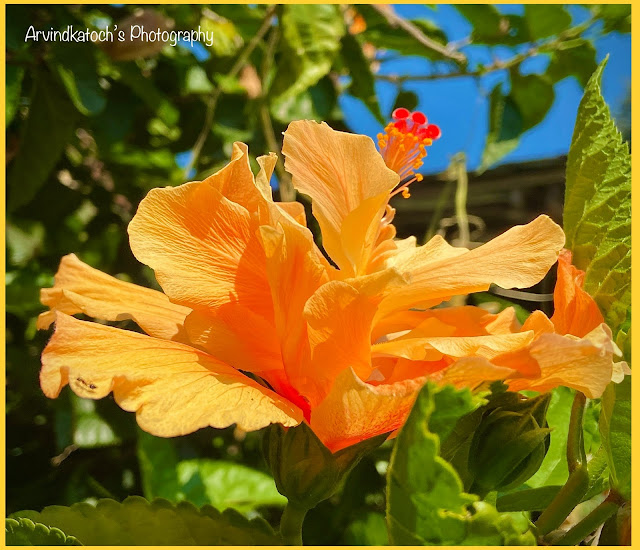 Beautiful HD Yellow Hibiscus flower picture in full glow