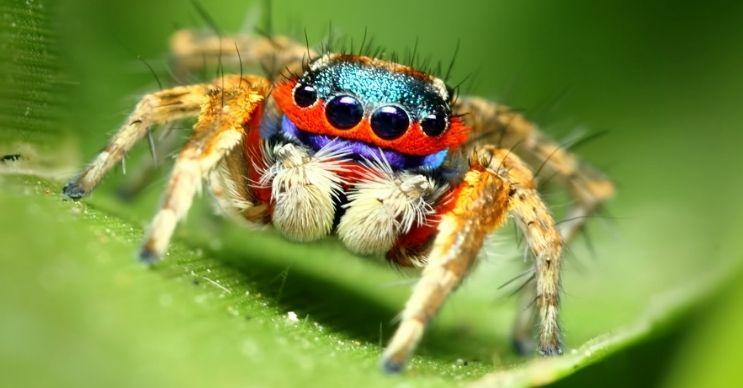 Zıplayan örümcekler sarı, mavi, mor ve turuncu gibi renkleri derilerinde barındırabilir.