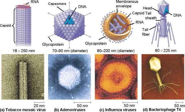 berbagai macam bentuk virus