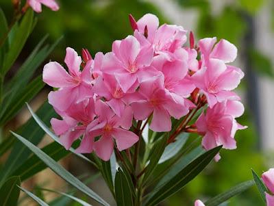 Cultivo do Oleandro (Nerium oleander)