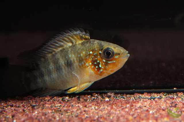 Apistogramma sp. sanjose from San José, Colombia