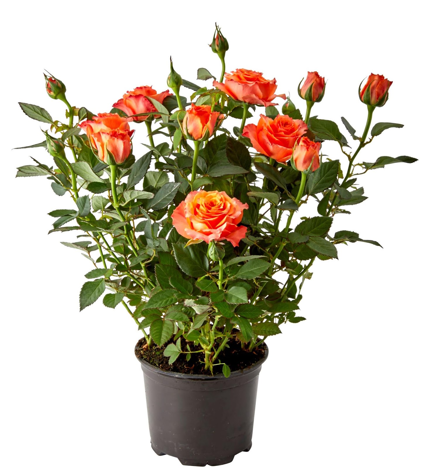 роза кордана сорта с фото