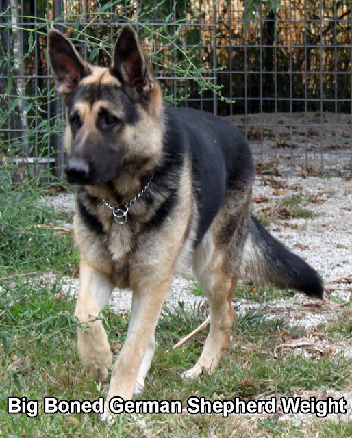 Big Boned German Shepherd Weight