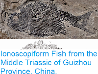 https://sciencythoughts.blogspot.com/2015/04/ionoscopiform-fish-from-middle-triassic.html