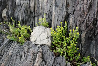 コゴメマンネングサ・屋久島の植物6月