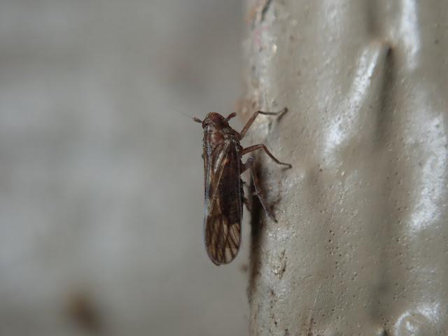 Pareuidella sp