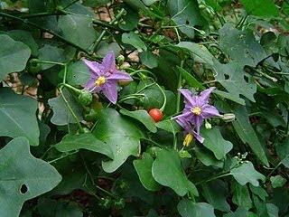 Image result for தூதுவளை துவையல்