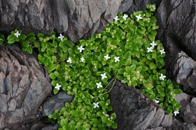 ソナレムグラ・屋久島の植物6月