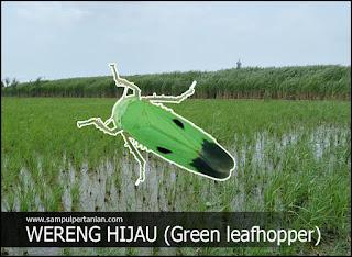 Hama tanaman padi : Wereng hijau (green leafhopper)