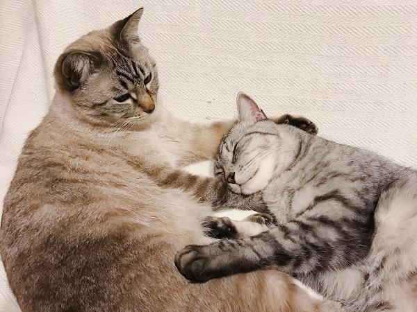 シャムトラ弟の腕枕で安心して寝ているサバトラ兄