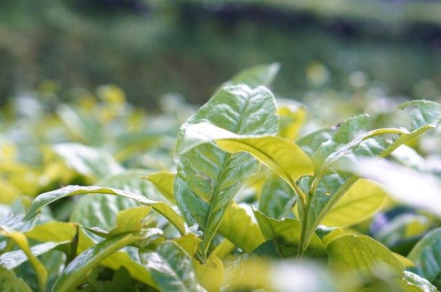 nature tea leaf